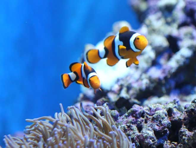 Kickstarting Mother's Day celebrations with S.E.A.A. Super Mum at our S.E.A. Aquarium! The Clownfish definitely makes the list of Super Mums in the marine world!