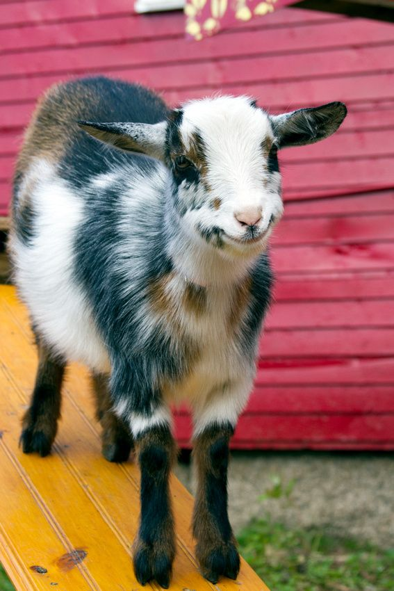 Dwarf Nigerian goat Freckles - a happy and mischievous little girl!