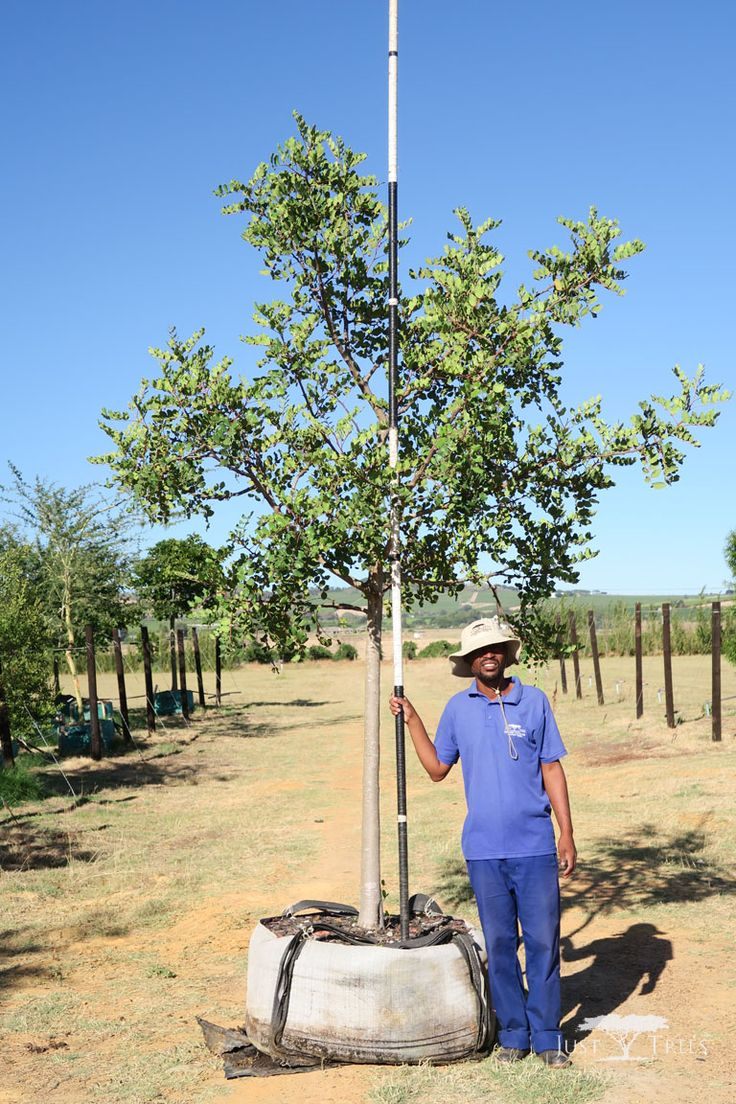400 L Carob Tree, a beautiful evergreen tree, native to the Mediterranean. With its thick green foliage, it works well as windbreak or a screen for privacy.
