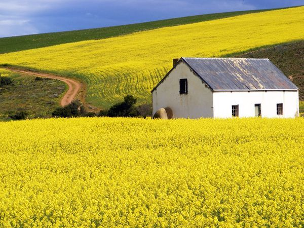 Canola Fields, Overberg Photograph by Liandi Slabbert, My Shot Resplendent in spring bloom, a canola crop colors fields in the Western Cape's fertile Overberg region. The Overberg lies at the continent's southernmost tip, where the Indian and Atlantic Oceans converge