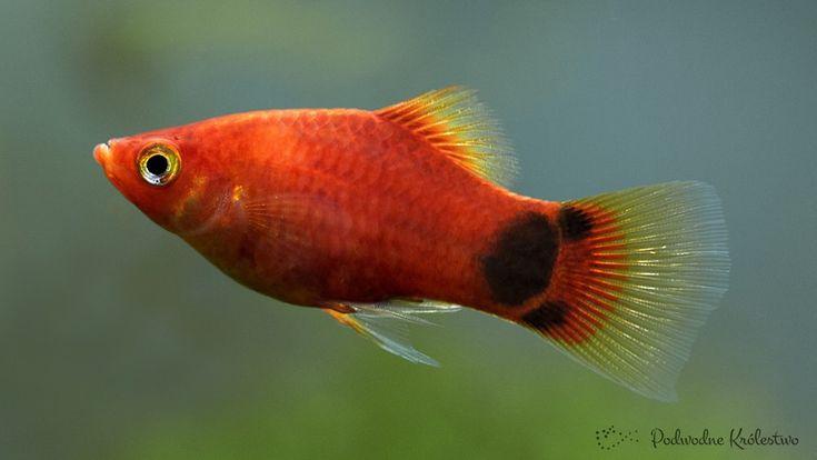 Platka zwana pod nazwą Zmienniak plamisty to jedna z najpopularniejszych i najłatwiejszych w hodowli ryb akwariowych. http://podwodnekrolestwo.pl/zmienniak-plamisty-platka/ Xiphoporus maculatus
