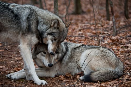 You may think calling us a pack of wolves is an insult, but you obviously know nothing of wolves then.
