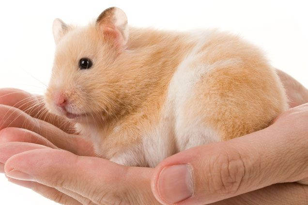 teddy bear hamster |