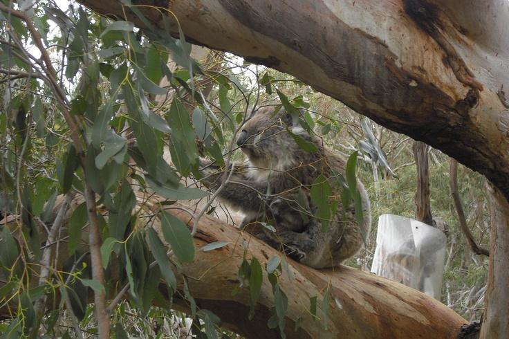 Koala Bear - How Cute!