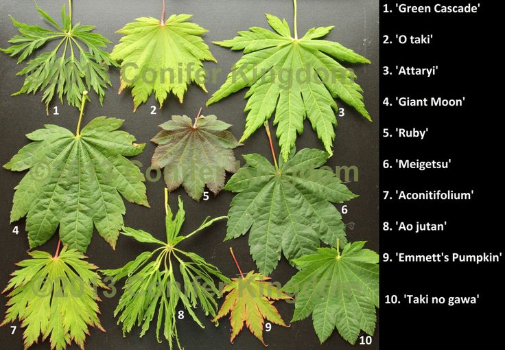 Japanese Maple Leaf Chart I