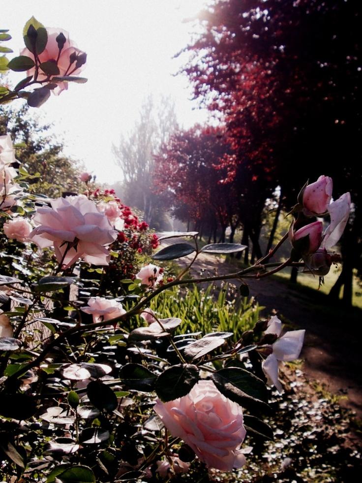 park of roses, timisoara