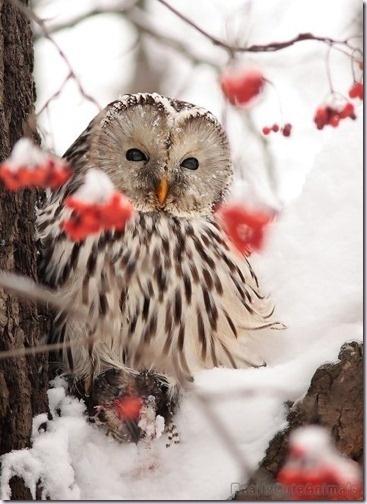 """Snowy"" Owl"