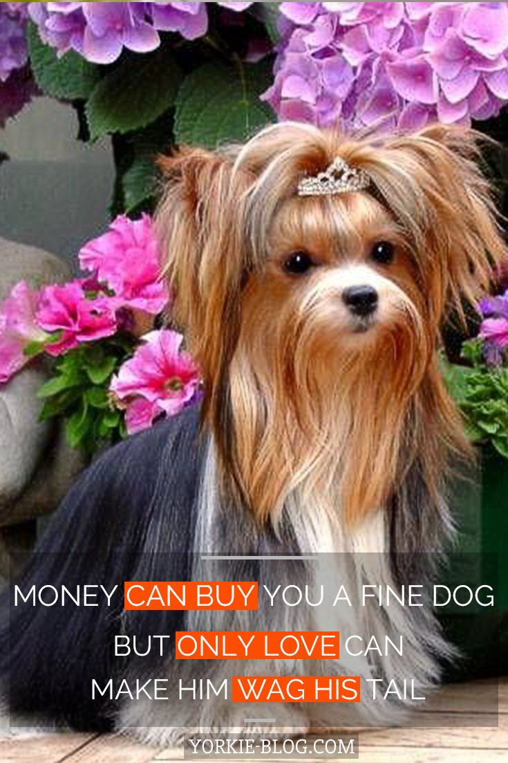 Yorkie Terrier Haircut Style Selfie Time Wallpaper Hd 7 In 2020