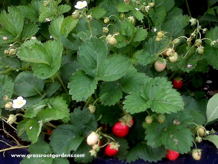 78 Images About Berries And Brambles On Pinterest