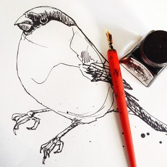 bullfinch-sketch