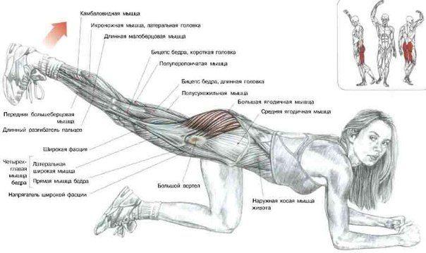 Разгибание бедер ног -Упражнения для развития мышц ног -Программы тренировок в тренажерном зале