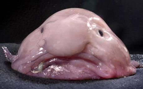 Blobfish: world's most 'miserable looking' marine animal facing extinction.Lives in waters off the South East Coast of Australia.