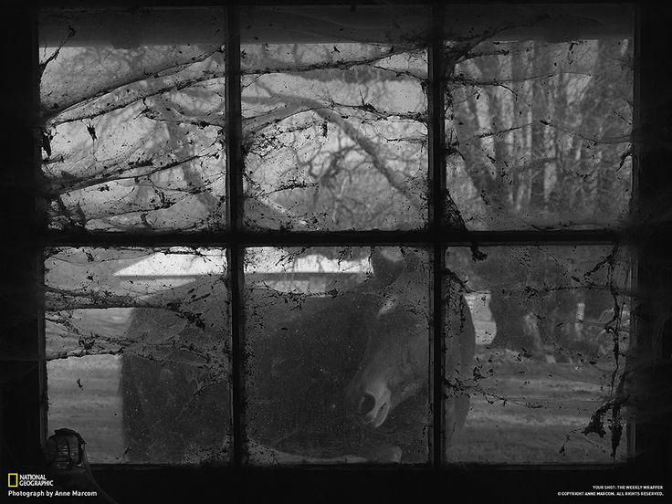 Carota in arrivoFotografia di Anne Marcom Dela è un cavallo che ho salvato ed è affetta da glaucoma. Non vede, ma in compenso ci sente molto bene: mi ha sentito lavorare nel fienile e si è avvicinata sapendo che ho sempre pronta una carota per lei.