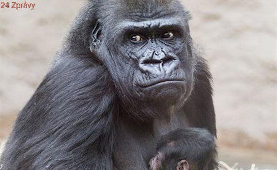 Pražská zoo dnes oslaví 45 let od nalezení gorily Kamby