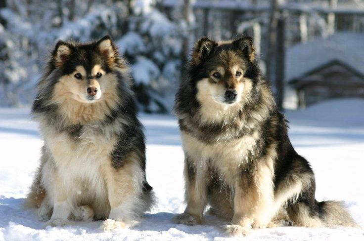 Haluan paljon Suomen Lapinkoiria. Kuvassa meijän omat koirat.