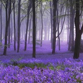 lush flower fieldsForests, Dreams, Nature, Wood, Lavender Fields, Beautiful, Trees, Places, Purple Flower