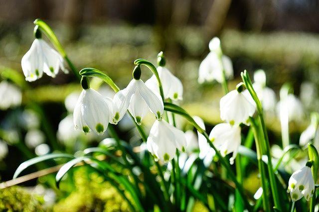 Fotobehang - Bloemen - Sneeuwklokjes