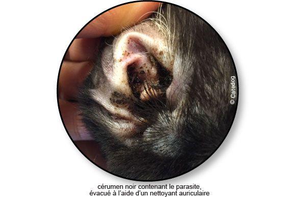 Gale auriculaire chez le chien. #cérumen #otite #acarien #parasite #conseil #vétérinaire #oreille
