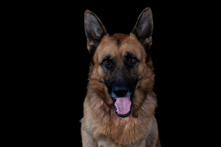 Sam - German Shepherd All images © www.thebeingproject.co.za