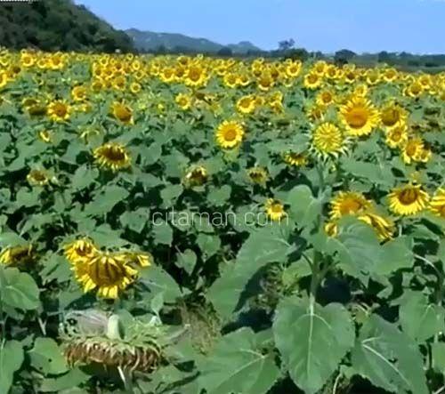 Wisata Bunga Matahari di Thailand