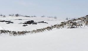 Rentierherde auf der Finnmarksvidda, Norwegen - Foto: C.H./Innovation Norway