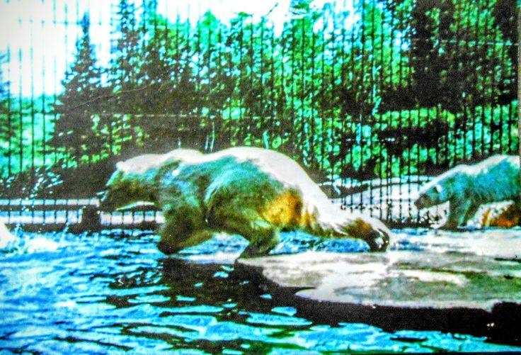 Ours Polaire au Zoo de St-Félicien