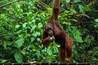 Orang Utan's Time. Borneo Island. Nature Life. Jungle