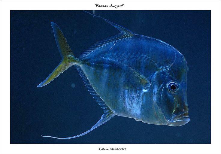 153 best images about animaux aquatiques on pinterest - Poisson shark aquarium ...