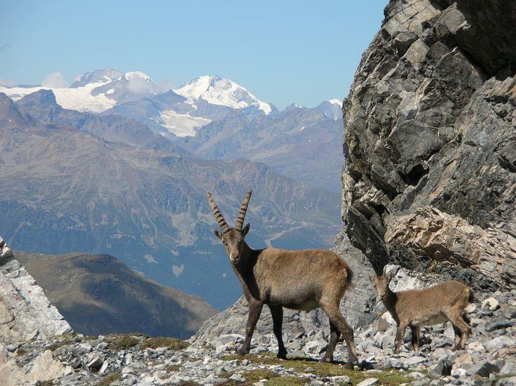 Safari fotografico nel Parco Nazionale dello Stelvio con le Guide Alpine - 11 ottobre 2013
