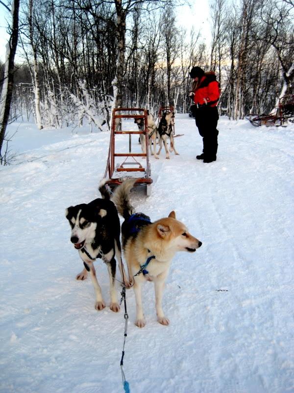 Dogsledding in Lappland