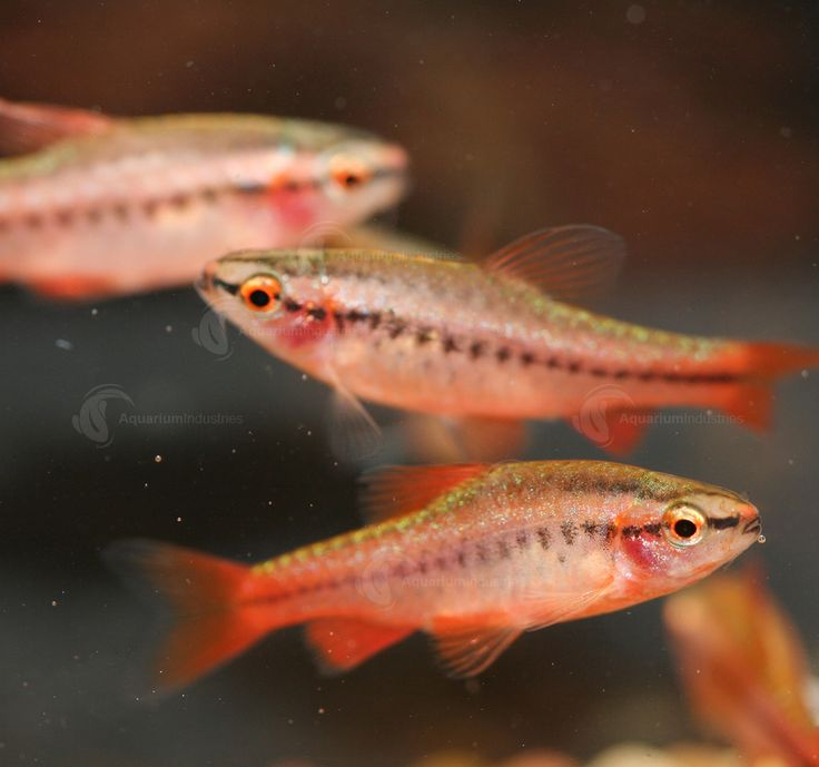 Cherry Barb : Cherry Barb. This pretty community fish will colour brightly after you ...