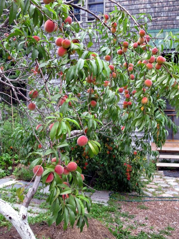 The Red Haven Peach Tree Garden Produce And Permaculture