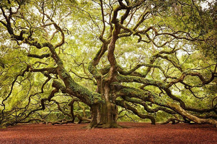 The Angel Oak Tree, South Carolina