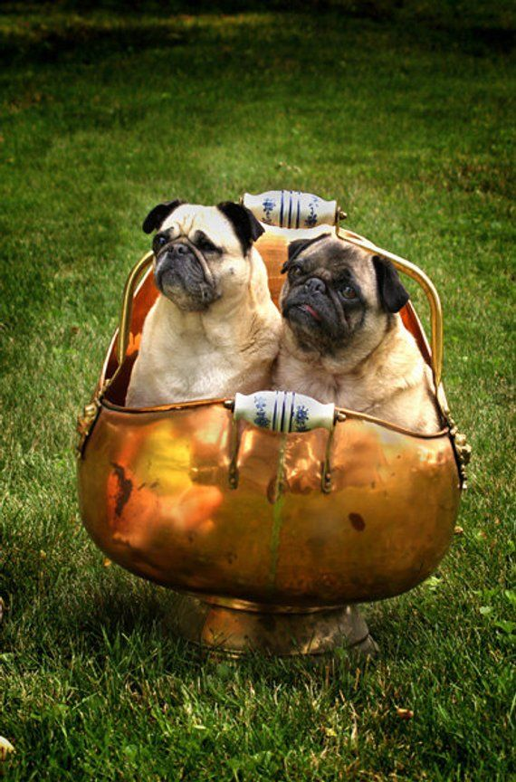 Pugs In A Pot Digital Download Photo 2 Fawn Pugs In A Copper Pot