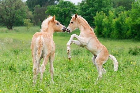'Haflinger+Fohlen+spielen+und+steigen.+Haflinger+horses+foals+playing+and+rearing'+by+Katho+Menden+on+artflakes.com+as+poster+or+art+print+$16.63