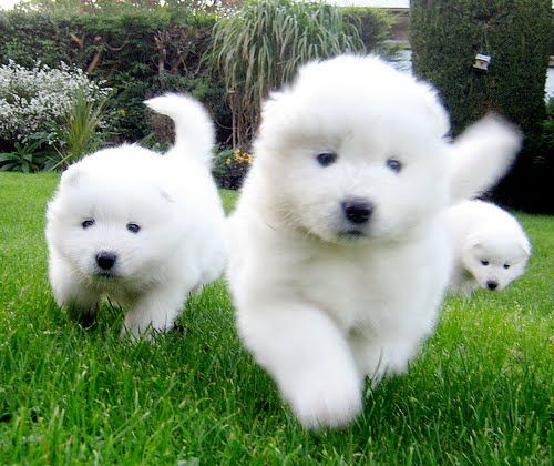 Hello balls of fluff! (baby Samoyed puppies - we've had 4 Samoyeds in the Duncan household since I was a kid)