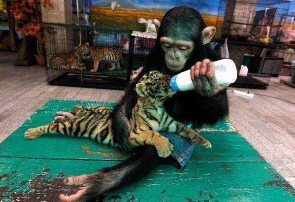 トラの赤ちゃんにミルクをあげるチンパンジー