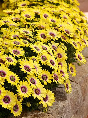 Osteospermum 'Blue Eyed Beauty' spring into fall blooms partial sun