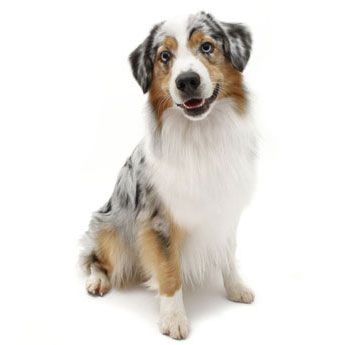 Australian Shepherd - Medium Dog Breed Profile