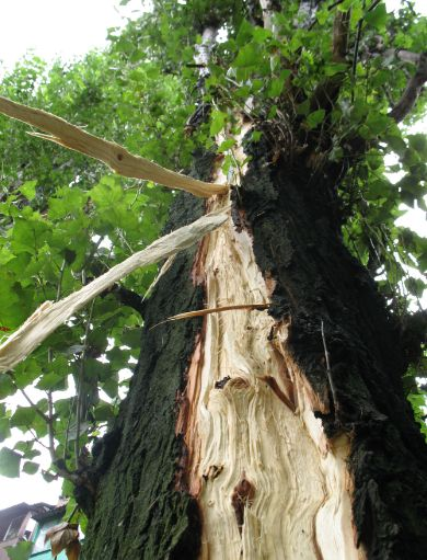 Emergency tree removal and lopping for a tree struck by lightning in Caboolture