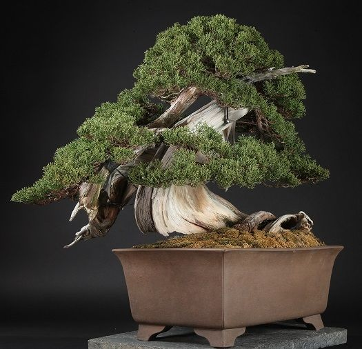 Another expensive Bonsai tree, for sale at around 90.000 dollar. Image courtesy by S-Cube.