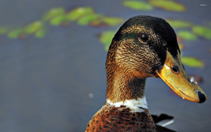 Duck Wallpaper for Home