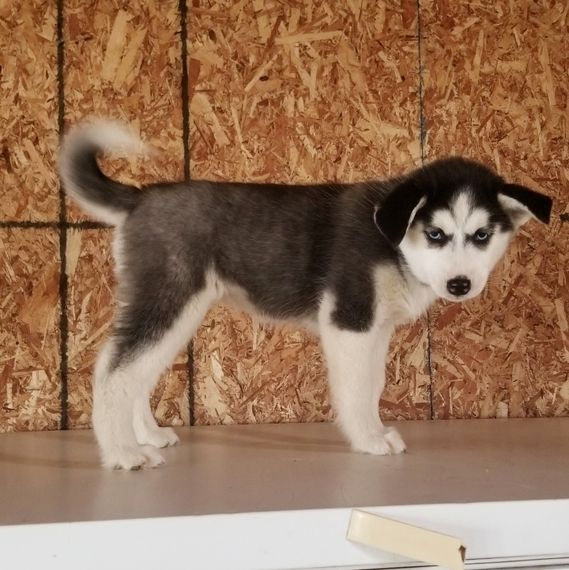 Identical Twin Puppies I Think So Husky Puppies For Sale Husky Puppy White Husky Puppy