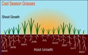 1. Cool season grass growth 2. The best cool-season lawn grasses:     Kentucky bluegrass     Fine fescues     Tall fescue 3. Bentgrass is another common cool season species - used mainly on golf course greens and tees. It can make a real nice lawn but is very high maintenance. In some areas, bentgrass can be an invasive weed that is dificult to control.