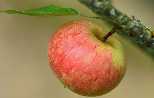 Фото обои яблоко, ветка, плод, фон, макро
