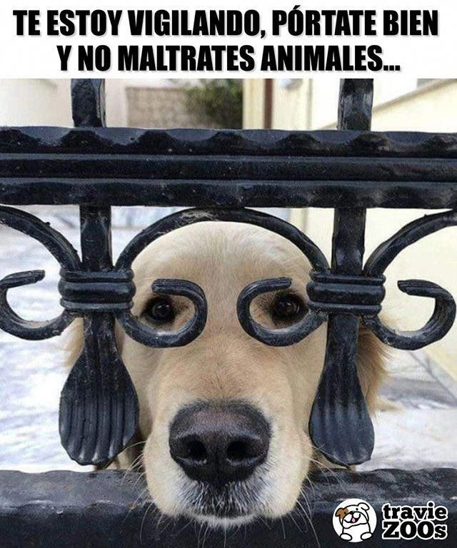 Te Sientes Observado Cuidado Quiza Firulais Este Al Pendiente De Tus Movimientos Dogs Animales Perros Firulais Cute Dogs Cute Baby Animals Cute Animals