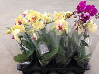 Phalaenopsis Orchids in designer pot with sleeve avail;able in mixed colour trays! http://www.summerhillnurseries.com.au/www/content/default.aspx?cid=1573&fid=711