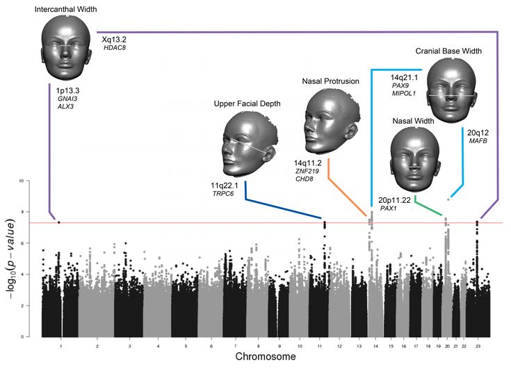Many of the characteristics that make up a person's face, such as nose size and face width, stem from specific genetic variations, reports John Shaffer of the University of Pittsburgh in Pennsylvania, and colleagues, in a study published on Aug. 25 in PLOS Genetics.