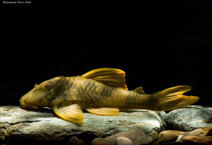 894 best images about catfish and loaches on pinterest for Fish tank catfish