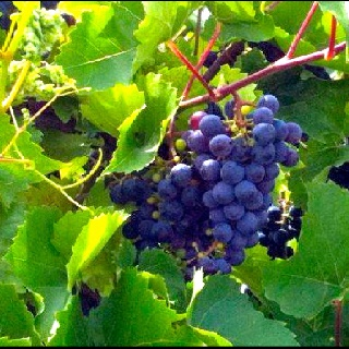 Finger Lakes concord grapes are the best! | Finger Lakes Golf House | Pinterest | Finger, Lakes and Beautiful places